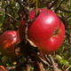 Red Apple On Tree - VideoHive Item for Sale