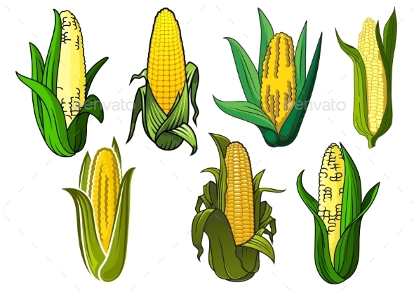 Isolated Corn Cobs - Food Objects