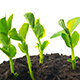Growing Pea Sprouts - VideoHive Item for Sale