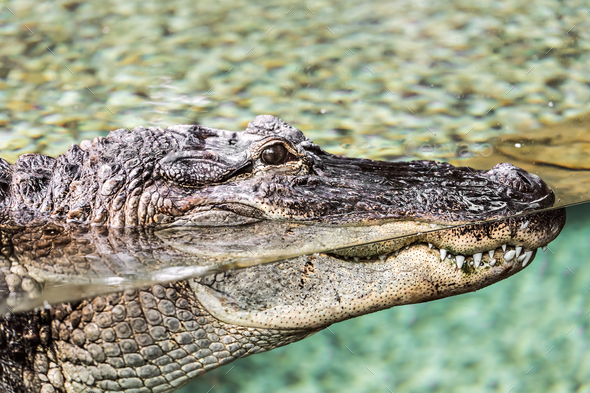 Crocodile lying at the zoo - Stock Photo - Images