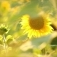 Flowers Sunflower On a Summer Evening - VideoHive Item for Sale
