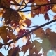 The Rays Of The Sun Through Red Autumn Leaves - VideoHive Item for Sale