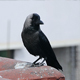 Carrion Crow - VideoHive Item for Sale