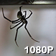 Black Widow Spider in Window - VideoHive Item for Sale