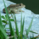 Frogs Sitting on Rock - VideoHive Item for Sale