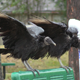 Black Vultures - VideoHive Item for Sale