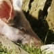 Pig In Nature - VideoHive Item for Sale