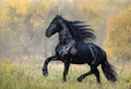 The Black Horse of the Frisian breed walks in the Autumn foggy  wood - PhotoDune Item for Sale