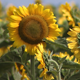 Sunflower alone - VideoHive Item for Sale