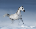 Purebred  grey Arabian Horse galloping over meadow in Snow - PhotoDune Item for Sale