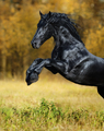 The black Horse of the Friesian breed Play in the gold autumn wood - PhotoDune Item for Sale