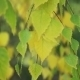Yellow Birch Leaves In The Sun - VideoHive Item for Sale