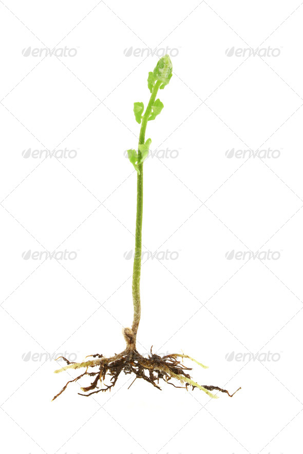 Young shoot of a fern plant - Stock Photo - Images