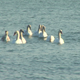 Several Swans - VideoHive Item for Sale