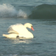 Swan in winter sea 2 - VideoHive Item for Sale