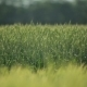 Green Wheat Field - VideoHive Item for Sale