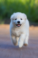 White Puppy of Mix breed in one and a half months old - PhotoDune Item for Sale