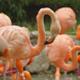 Flamingos - VideoHive Item for Sale