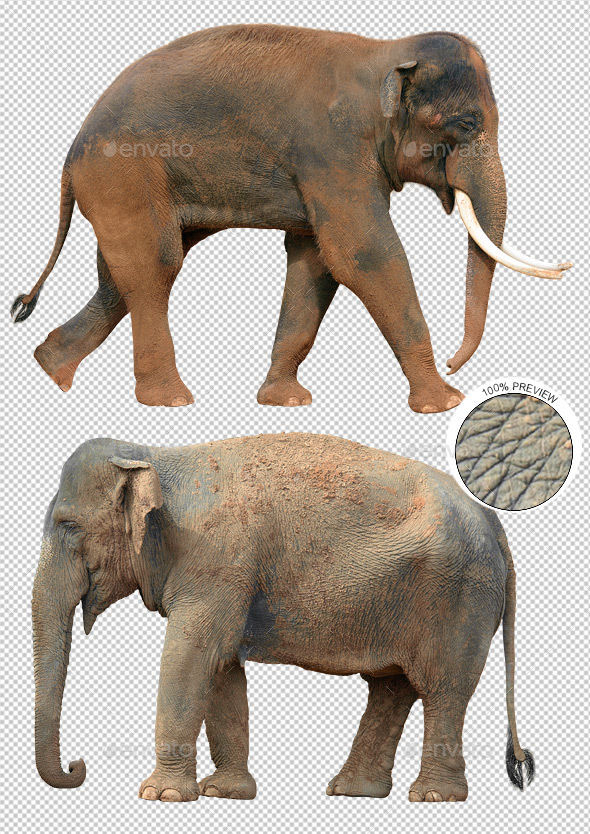 Two Indian Elephants - Nature & Animals Isolated Objects