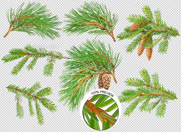 Pine and Fir Trees Branches - Nature & Animals Isolated Objects