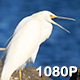 Snowy Egret Yawns on the Shore - VideoHive Item for Sale