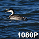 Two Grebes Float By - VideoHive Item for Sale
