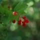 Beautiful Red Berries On a Green Bush - VideoHive Item for Sale