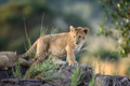 Lion cub, National park of Kenya, Africa