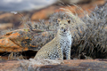 Leopard in National park of Kenya, Africa - PhotoDune Item for Sale