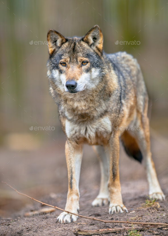 Full body image of a  Grey Wolf - Stock Photo - Images