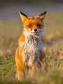 Red fox sitting - PhotoDune Item for Sale