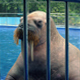 Walrus Basks In Pool At The Zoo - VideoHive Item for Sale
