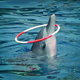 Dolphin Skillfully Twirls Hoop On Head - VideoHive Item for Sale
