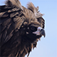 Mongolian Vulture - VideoHive Item for Sale
