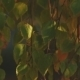 Foliage Of a Birch At Sunset - VideoHive Item for Sale