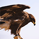 Mongolian eagle 1 - VideoHive Item for Sale