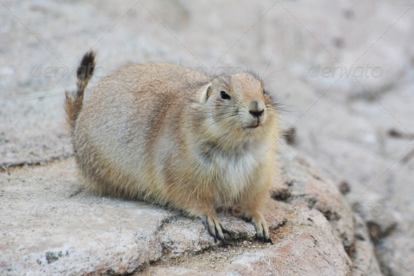 prairie dog - Stock Photo - Images