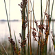Grass Reeds Rattling On River Bank - VideoHive Item for Sale