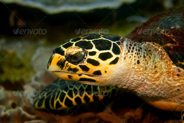 Hawksbill turtle - Stock Photo - Images