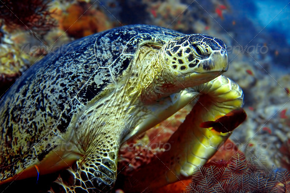 Green turtle - Stock Photo - Images