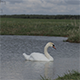 White Swan on a Pond - 4 - VideoHive Item for Sale