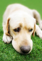Labrador retriever on grass (Adobe RGB) - PhotoDune Item for Sale