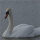 White Swan on a Pond 6 - VideoHive Item for Sale