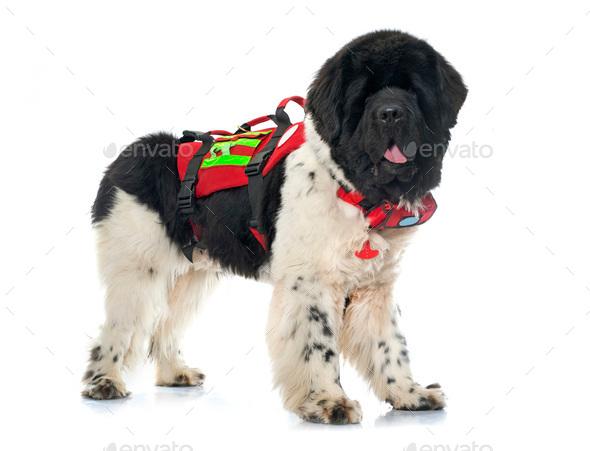 rescue newfoundland dog - Stock Photo - Images
