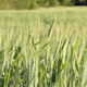 Cornfield - VideoHive Item for Sale