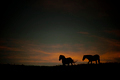 Wild horses at sunset - PhotoDune Item for Sale