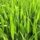 Green Wheat On The Field - VideoHive Item for Sale