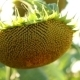 Ripe Sunflower Head - VideoHive Item for Sale