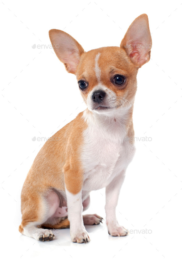 young puppy chihuahua - Stock Photo - Images