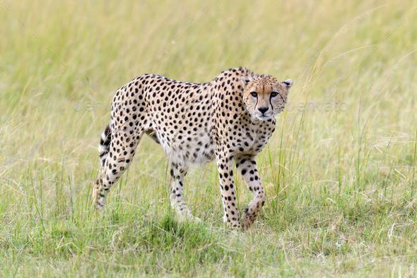 Cheetah. Africa, Kenya - Stock Photo - Images